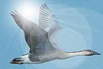 wild goose flying in the sun